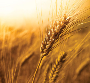 new-harvest