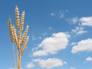 harvestgrain-image1